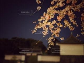 自然,空,花,春,桜,夜,屋外,ピンク,綺麗,城,夜桜,鮮やか,レトロ,樹木,草木