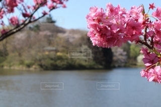 花,春,屋外,ピンク,水面,鮮やか,樹木,カラー,草木