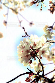 空,花,春,枝,鮮やか,樹木,草木,桜の花,さくら,ブロッサム