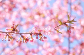 花,春,ピンク,さくら,ブロッサム