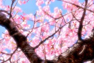 風景,花,春,ピンク,樹木,桜の花,さくら,ブロッサム