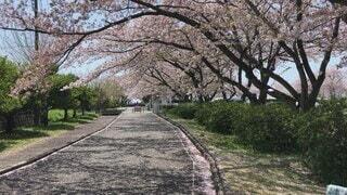 空,花,春,屋外,青空,散歩,花びら,樹木,地面,散歩道,散歩中,草木,桜の木,舞う,静岡県,4月,さくら,そよ風,ブロッサム