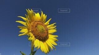 風景,空,花,夏,ひまわり,青空,晴天,黄色,花びら,黄色い花,爽やか,向日葵,風,夏休み,ひまわり畑,快晴,コピースペース,向日葵畑,イメージ,静岡県,富士市,大輪,花言葉,ヒマワリ,揺れる,文字入れ,かりがね堤,青空背景