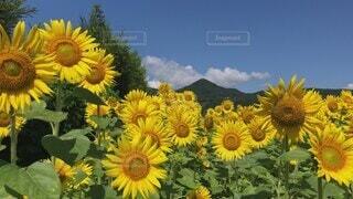 空,花,夏,太陽,植物,ひまわり,青空,黄色,田舎,山,爽やか,キラキラ,田んぼ,風,夏休み,バカンス,畑,コピースペース,草木,イメージ,富士市,大輪,花言葉,キク目,かりがね堤,青空背景,その風