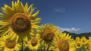 花,夏,太陽,植物,ひまわり,晴れ,晴天,黄色,田舎,景色,花びら,大自然,爽やか,向日葵,田んぼ,風,夏休み,ひまわり畑,快晴,畑,空気,爽快,コピースペース,草木,向日葵畑,イメージ,スッキリ,富士市,大輪,花言葉,揺れる,かりがね堤