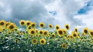 自然,風景,花,夏,ひまわり,雲,青空,景色,花びら,向日葵,癒し,元気,昼下がり,夏休み,ひまわり畑,summer,サマー,バケーション,向日葵畑,イメージ,黄色い,花言葉