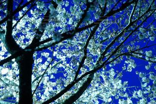 桜のクローズアップの写真・画像素材[3049844]