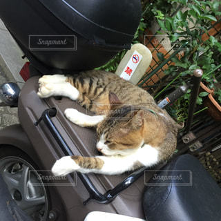 猫,動物,スクーター,バイク,ペット,人物,ネコ