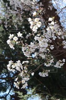 花,春,桜,樹木
