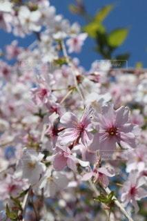 花,春,景色,草木,桜の花,さくら