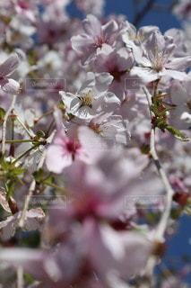 花,春,景色,草木,桜の花,さくら,ブロッサム