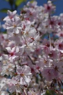 花,春,景色,桜の花,さくら
