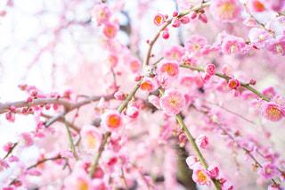 梅の写真・画像素材[3014245]