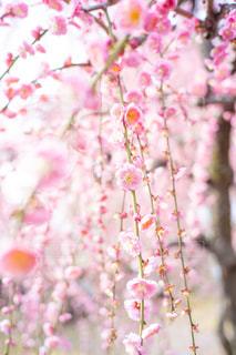 枝垂れ梅の写真・画像素材[3014247]