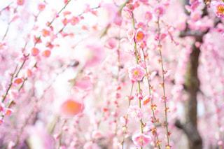 枝垂れ梅の写真・画像素材[3014248]