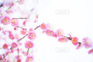 梅の写真・画像素材[3014246]