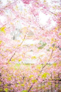 河津桜の写真・画像素材[3035733]