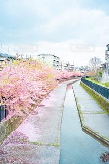 河津桜の写真・画像素材[3035735]