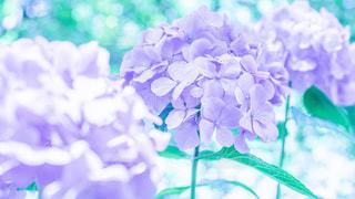 hydrangeaの写真・画像素材[3440431]