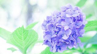 hydrangeaの写真・画像素材[3440429]