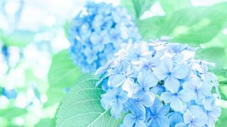 紫陽花の写真・画像素材[3440434]