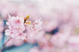 桜の写真・画像素材[4211493]