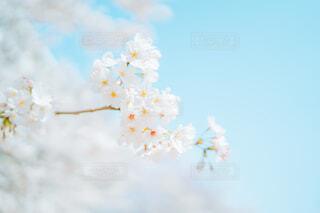 桜の写真・画像素材[4303823]