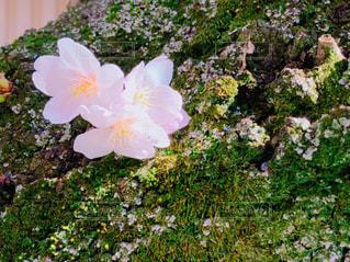 花,春,桜,屋外,ピンク,花びら,サクラ,樹木,幹,桜の木,春爛漫,さくら