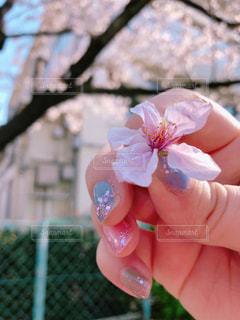 女性,花,春,桜,ネイル,屋外,手,花びら,サクラ,満開,人,思い出,小学校,草木,さくら