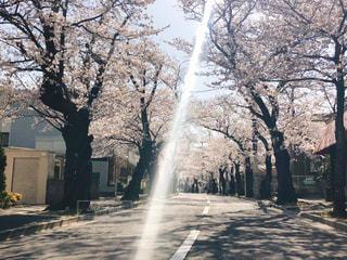 風景,花,春,桜,屋外,ピンク,光,サクラ,樹木,道,住宅,歩道,さくら,おひさま,さくら通り