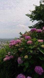 紫色の花で満たされた花瓶の写真・画像素材[3377323]