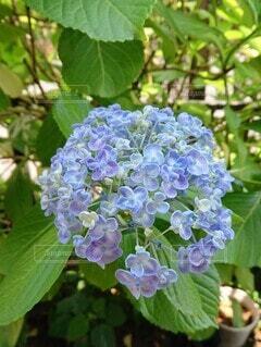 紫陽花のクローズアップの写真・画像素材[4571076]