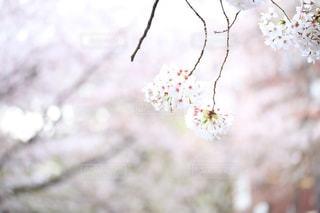 花,桜,屋外,鮮やか,ブロッサム