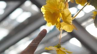 黄色い花を指さすの写真・画像素材[2941648]