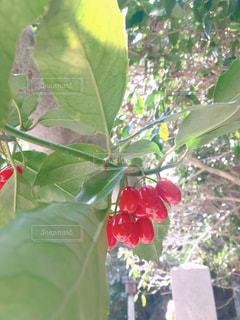 緑の葉を持つ赤い実の写真・画像素材[2997693]