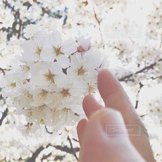桜の写真・画像素材[2997697]
