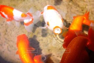 金魚の写真・画像素材[2997704]