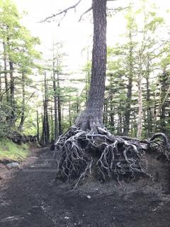 森の中の木の写真・画像素材[2998002]