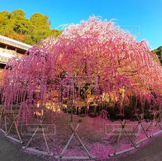 ピンクの花を持つ木の写真・画像素材[3016047]