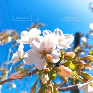 空,花,春,桜,白,青,蕾,カラー,草木,咲き誇る,さくら,ブルーム,ツボミ,ブロッサム