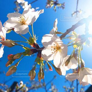 空,花,春,桜,太陽,白,青い空,日差し,白い花,蕾,明るい,草木,ブルーム,ツボミ,ブロッサム