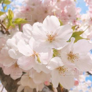 花,桜,花束,景色,白い,クリーム,たくさん,装飾,草木,さくら,ブルーム,ブロッサム,かなり