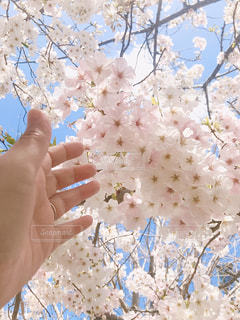 女性,花,春,桜,白,青空,手,桜の花,さくら,ブロッサム