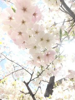 花,春,白,光,白い,ヒカリ,草木,桜の花,さくら,ブルーム,ブロッサム