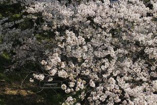 花,春,桜,ブロッサム