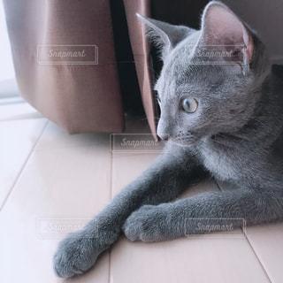 猫,動物,かわいい,ペット,子猫,人物,ロシアンブルー,ネコ,ネコ科の動物