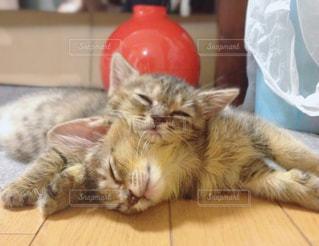猫,動物,かわいい,ペット,寝顔,子猫,人物,癒し,姉妹,ネコ,ネコ科の動物