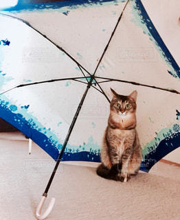猫,動物,雨,傘,ペット,人物,座る,日本猫,ネコ,かさ