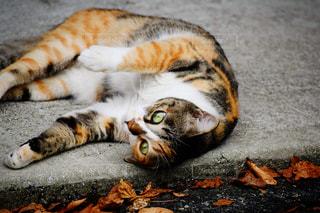 猫,動物,紅葉,景色,鮮やか,ペット,可愛い,くつろぎ,ネコ,ごろん