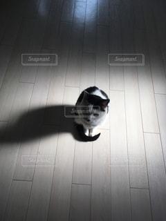 猫,動物,屋内,哀愁,白,黒,部屋,ペット,人物,スポットライト,見つめる,ネコ